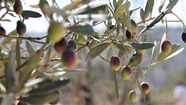 Olivträdet symboliserar fred och försoning
